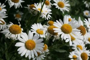 Phytotherapie: Kamille